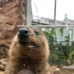Quokka Front Facing